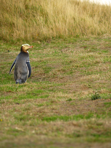 Yellow-Eyed Penguin by JarvisKP
