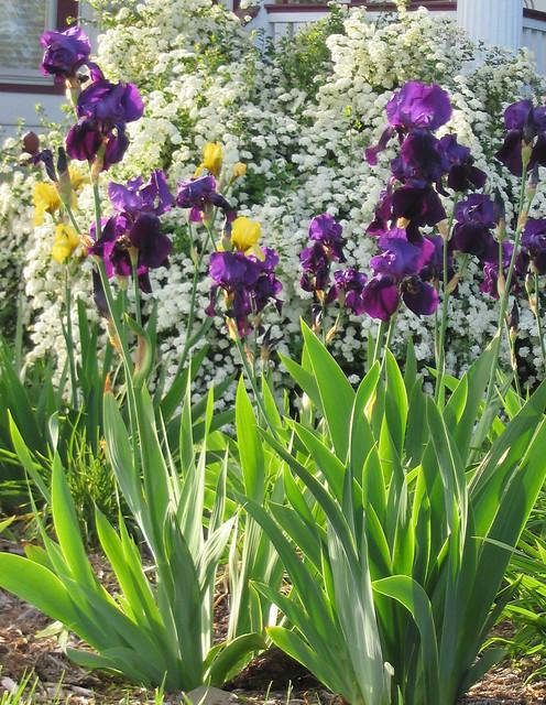 Iris and Spirea