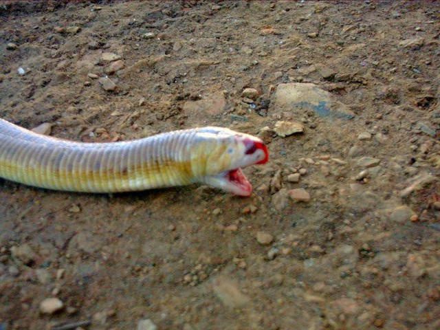 two-heads snake | Flickr - Photo Sharing!