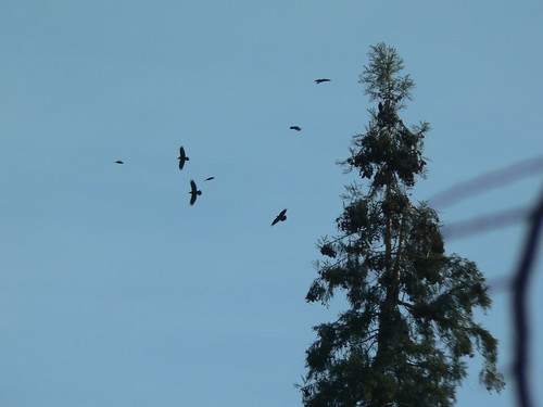Raven Dance 12