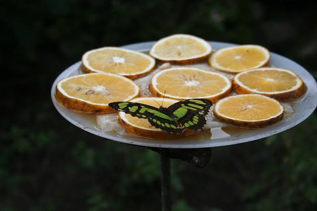 Imagen de una Mariposa alimentándose con fruta en el Mariposario del Jardín Botánico del Quindío