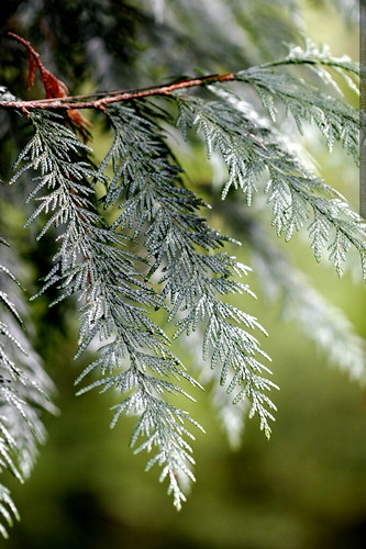 is this an incense cedar?  MG 4522