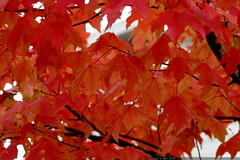 crimson maple leaves    MG 4543