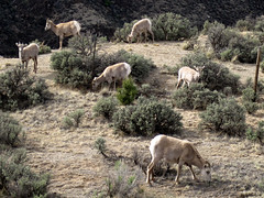 Mountain goats by the western rim of Taos gorge