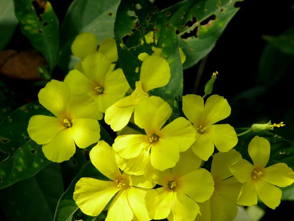 पीले फूल के लिए इमेज परिणाम