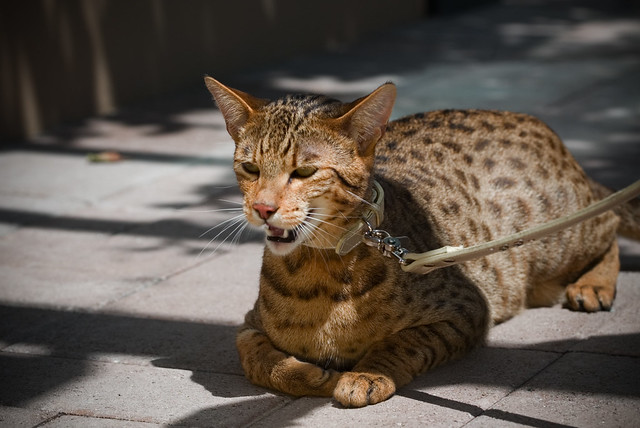 The Asian Leopard Cat - the bengals wild ancestor