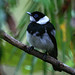 Pied Monarch - Photo (c) David Cook, some rights reserved (CC BY-NC)
