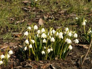 Märzenbecher, Leucojum vernum, aus der Familie der Amaryllisgewächse, Amaryllidaceae  auf der Märzenbecherwiese