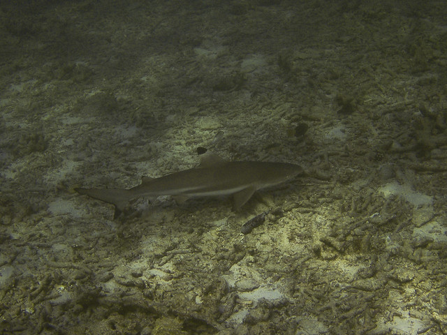 Blacktip Reef Shark, Hin Pae
