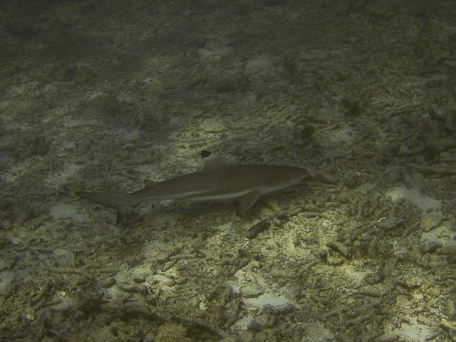 Blacktip Reef Shark, Hin Pae