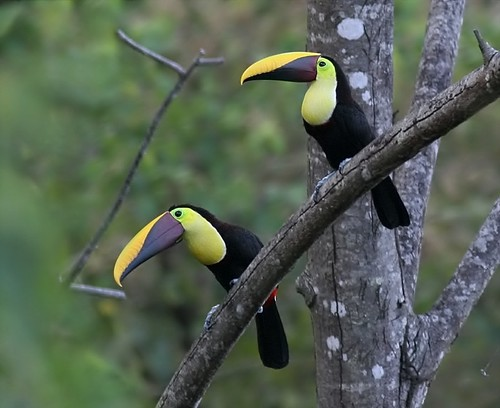 1.5 days in Costa Rica: Chestnut-mandibled Toucans