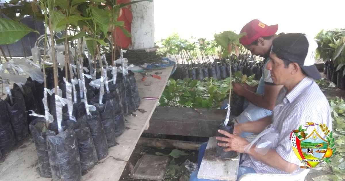 Técnicos del GADM Chone capacitaron en injertación de cacao