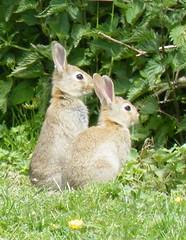 animal, hare, rabbit, domestic rabbit, pet, fauna, wood rabbit, rabits and hares, wildlife,