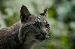 animal, small to medium-sized cats, pet, mammal, lynx, fauna, close-up, cat, wild cat, whiskers, bobcat, wildlife,