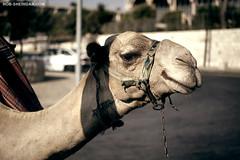 A Camel in Jerusalem, Israel