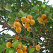 Small photo of Apricots