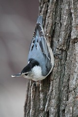 White-breasted Nuthatch - Photo (c) Brian Peterson, some rights reserved (CC BY-NC-ND)