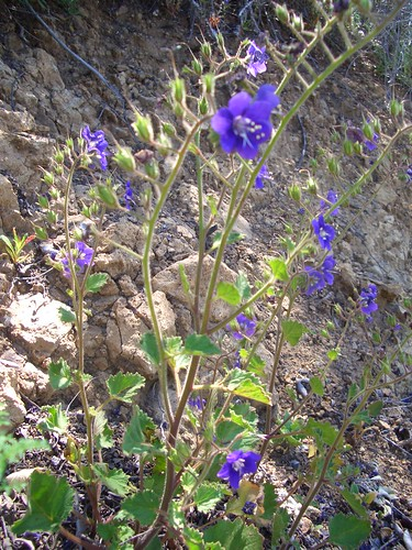 Encinal Canyon ride- flowers