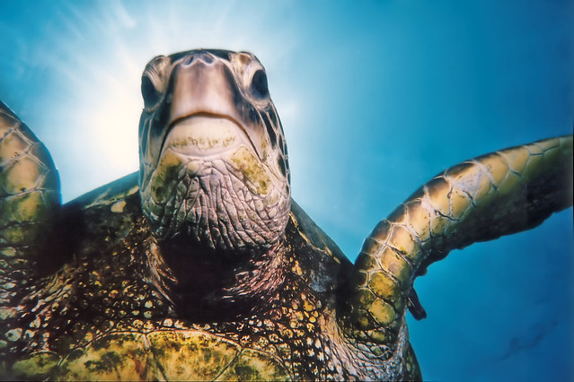 Tripod, the Green Sea Turtle