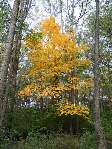 wheatonil herricklakeforestpreserve nature flora fall leaves foliage trees landscape mapletree yellow forest woods