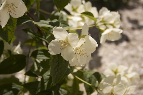 Flor Alcudia de Monteagud (II)