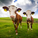 Two Cows by Martin Gommel