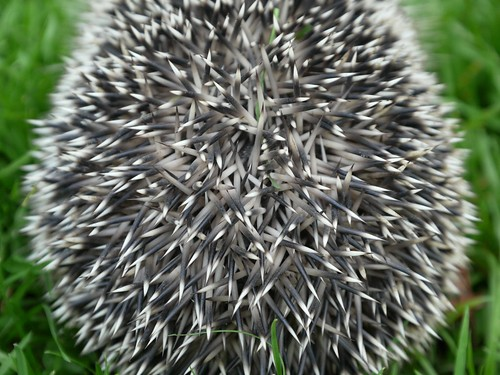 Spines of a hedgehog by Swamibu