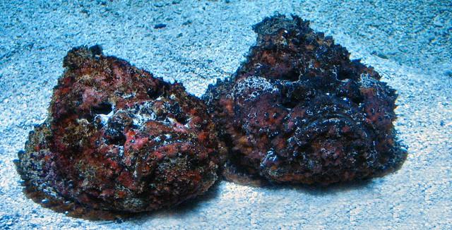 Fish that look like rocks at newport aquarium flickr for Fish that looks like a rock