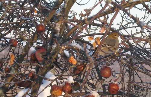 winter bird pinegrosbeak pinicolaenucleator corinthvermont