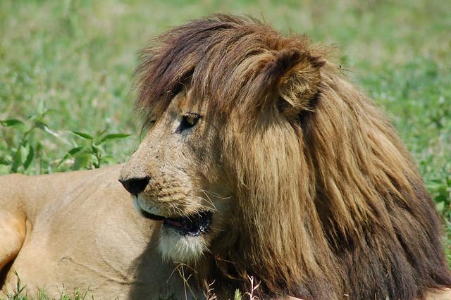 León descansando en el cráter del Ngorongoro, Tanzania.