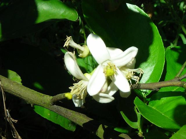 Orange Blossom on TreeOrange Blossom Tree