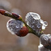 Small photo of Willows after rain