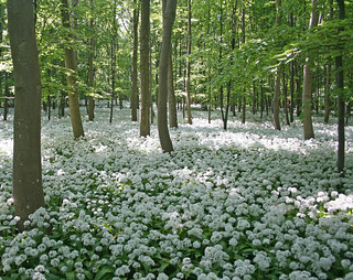 Ramsons in the shady forest