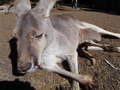 marsupial(0.0), kangaroo(0.0), macropodidae(0.0), animal(1.0), donkey(1.0), zoo(1.0), pack animal(1.0), fauna(1.0), wildlife(1.0),