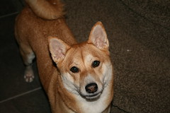 dog breed, animal, dingo, dog, shiba inu, carolina dog, pet, street dog, shikoku, mammal, finnish spitz, korean jindo dog,