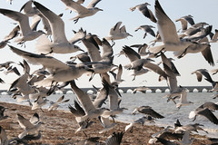 pelican(0.0), gannet(0.0), animal migration(1.0), animal(1.0), suliformes(1.0), charadriiformes(1.0), wing(1.0), fauna(1.0), flock(1.0), gull(1.0), bird migration(1.0), bird(1.0), seabird(1.0), wildlife(1.0),