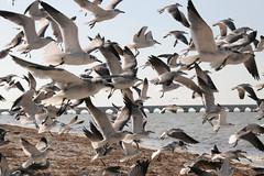 animal migration, animal, suliformes, charadriiformes, wing, fauna, flock, gull, bird migration, bird, seabird, wildlife,