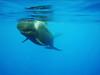 pilot whale 5