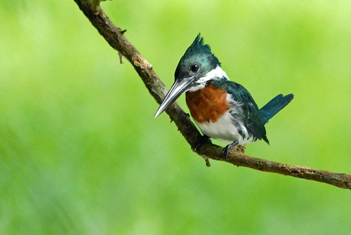 amazon kingfisher - male