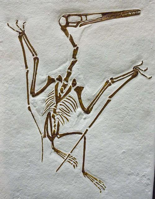2222860183 fb564d60ea z jpg zz 1Pterodactyl Fossil