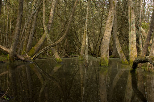 trees reflection flooding beaver cedar swamp beaverisland littlesandbay