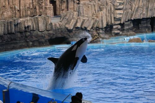 シャチ(Orca)