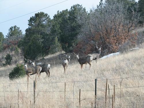 highway colorado small 9 deer herd mule guffey hartsel nothappytoseeme