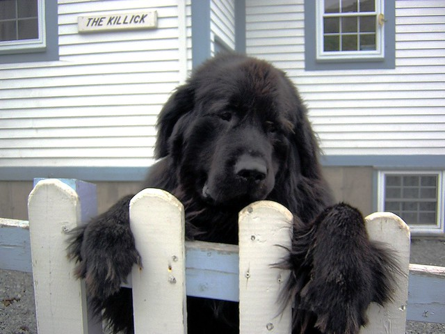 Newfoundland dog in Brigus, NL