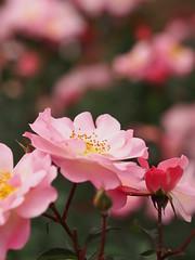 Rose, Hina-matsuri, バラ, ひな祭り,