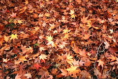 japanese maple leaves, fallen on the ground    MG 6011