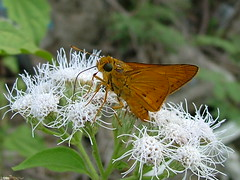 Plain Palm Dart Skipper by Mary M Peterson