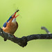 Malachite Kingfisher (Corythornis cristatus) tossing and catching a dragonfly