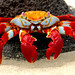 Sally Lightfoot Crab - Photo (c) ConstantineD, some rights reserved (CC BY-NC-ND)