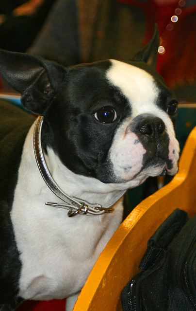 Bulldogs At Westminster Dog Show